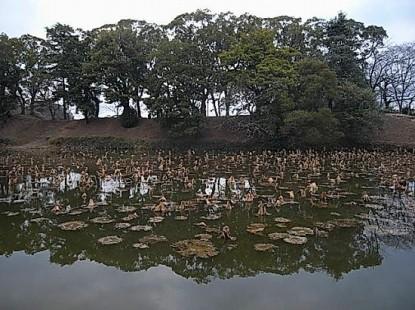 大濠公園枯れた蓮の池