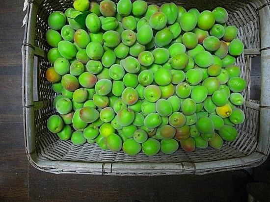 師匠の家で採れた梅